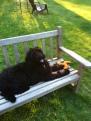 newfypoo dog 6 months breed newfoundland standard poodle