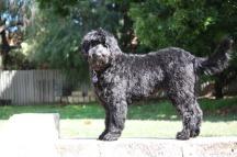 newfypoo breed dog grooming cut clip style bath bathing how to groom