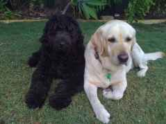 newfypoo puppies size at 7 months