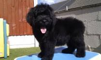 newfypoo puppy 12 weeks