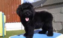newfypoo puppy 12 weeks